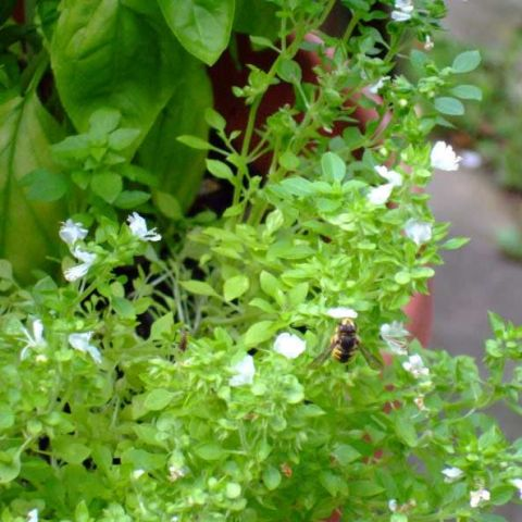 Spicy Globe basil, small green leaves, white flowers