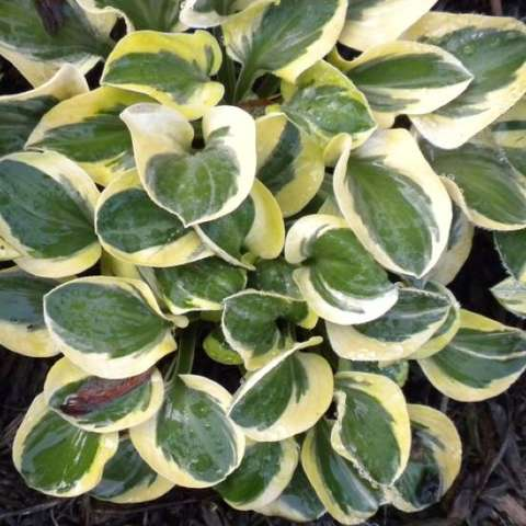Hosta 'Mighty Mouse'