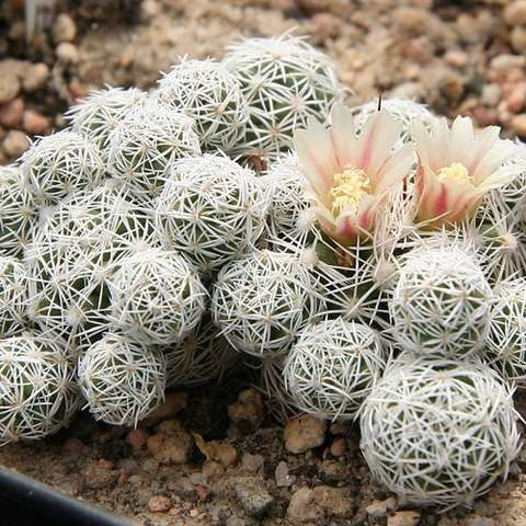 Mammillaria gracilis, many round balls covered in white spiny hairs