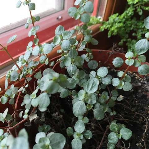 Red-stemmed artillery plant, round gray-green succulent leaves, reddish stems
