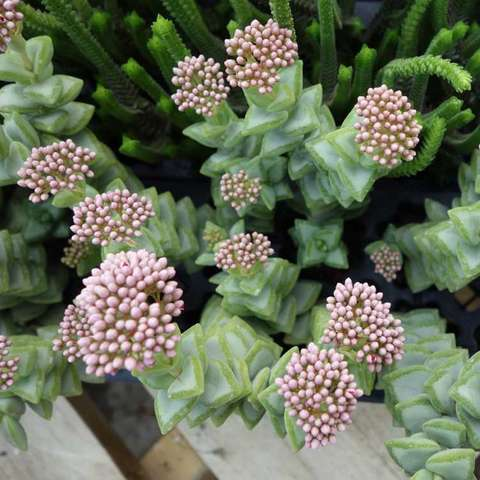 Crassula Kebab Bush, blue-green succulent triangle leaves and pink flower buds