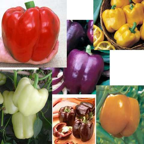 Six different sweet pepper red, yellow, orange, purple, brown, white