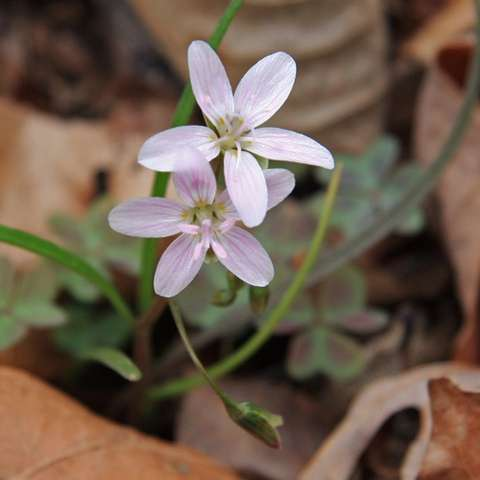 Claytonia virginica, small white flowers with thin pink stripes