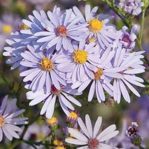 Aster azureus, light lavender daisies with yellow centers