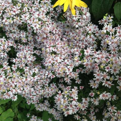 Aster cordifolius, white petals and centers in pink or yellow