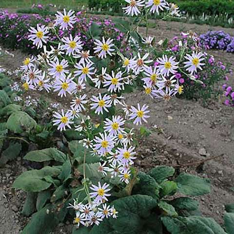 Aster macrophyllus, white asters