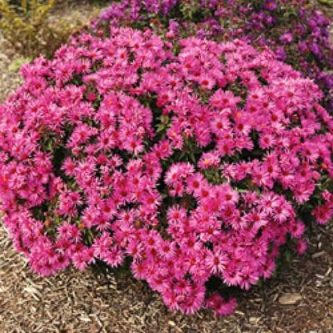 Aster Vibrant Dome, almost dark pink asters