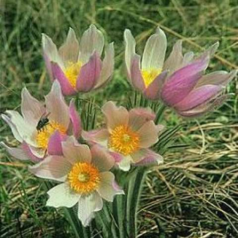Native pasque flower, pink and white blooms white yellow centers