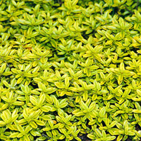Thyme Creeping Golden Creeper Friends School Plant Sale