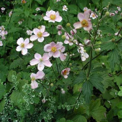 Anemone 'September Charm', light pink 5-petalled flowers showing habit