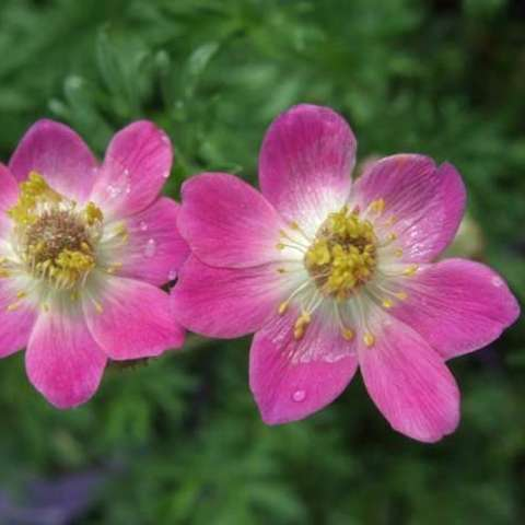 Anemone 'Annabella Deep Pink', bright pink single flowers