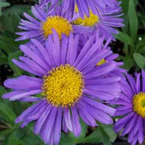 Aster 'Dark Beauty', strong lavender petals and large yellow center