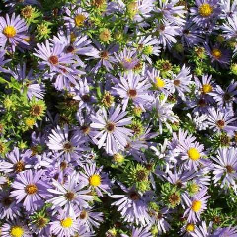 Aster 'October Skies', light lavender small daisies with yellow centers