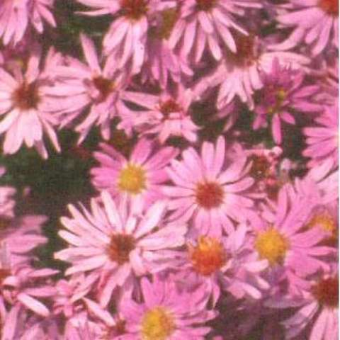 Aster 'Professor Anton Kippenberg', pink asters with yellow centers