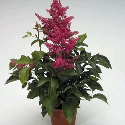 Astilbe 'Astary Rose', dusky pink plumes