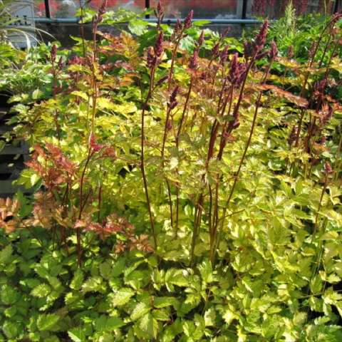 Astilbe Color Flash Lime, yellow green leaves, dark stems