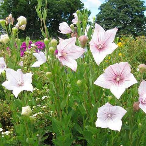 Platycodon 'Shell Pink', light warm pink 5-petaled star flowers