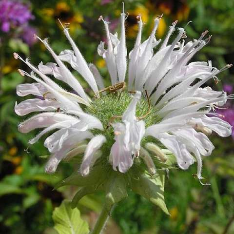 White bee balm, crown-like flower with white petals
