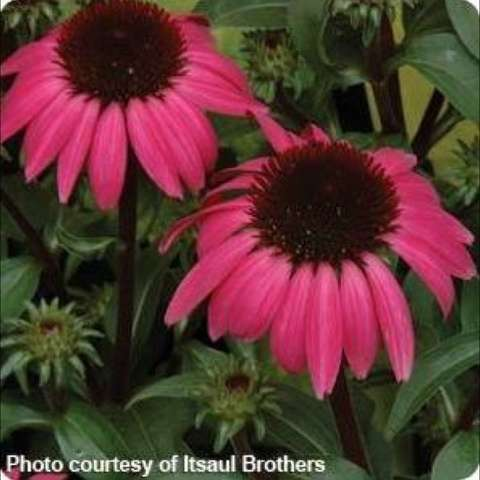 Echinacea 'Big Sky After Midnight', dark pink petals and dark centers