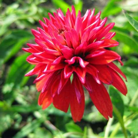 Echinacea Double Scoop, very double red-orange