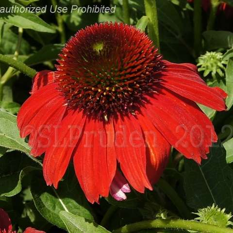 Sombrero Salsa Red coneflower, very red petals, dark cone