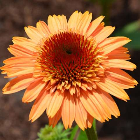 Echinacea Supreme Cantaloupe, melon-orange coneflower