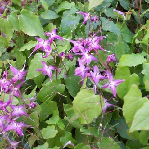 Epimedium 'Lilafee', small purple flowers floating above green leaves