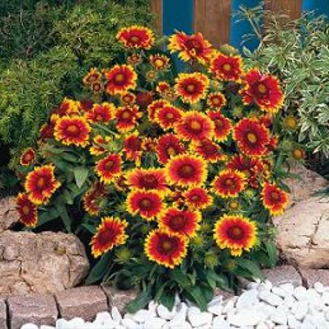 Gaillardia 'Arizona Sun', red-centered daisies