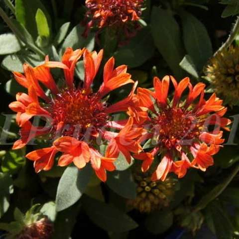 Gaillardia Fanfare Blaze, dark red centers, red petals that split and flare at the ends