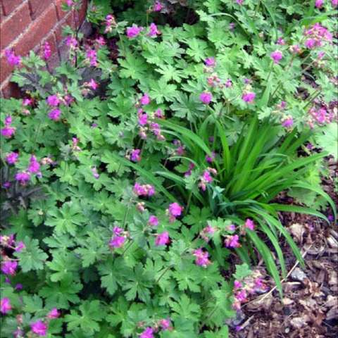 Geranium 'Walter Ingwersen', small pink flowers all over green plant