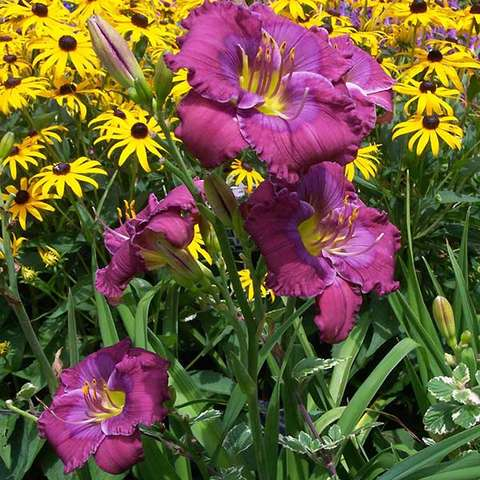 Hemerocallis Lavender Blue Baby, mauve to dark mauve with a green eye