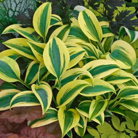 Hosta 'Autumn Frost', bright green and yellow leaves