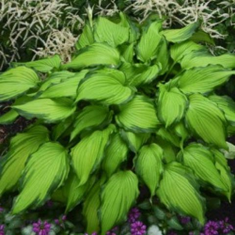 Hosta First Dance, bright green pointed leaves with dark green edges
