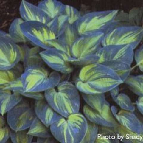 Hosta 'June', chartreuse centers and blue-green edges