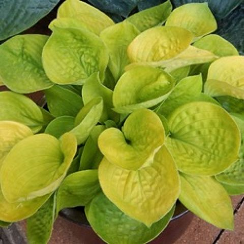 Hosta Maui Buttercups, yellow-green cupped leaves