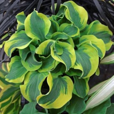 Hosta School Mouse, small curly leaves with yellow edges
