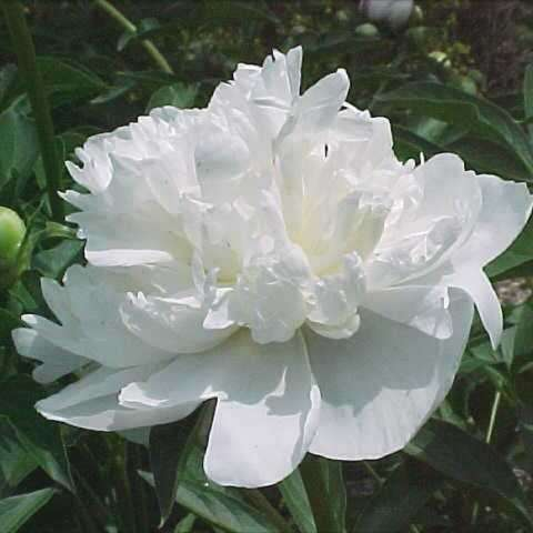 Peony 'Duchess de Nemours', large double white flower