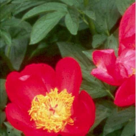 Paeonia 'Flame' bright reddish pink singles with yellow centers