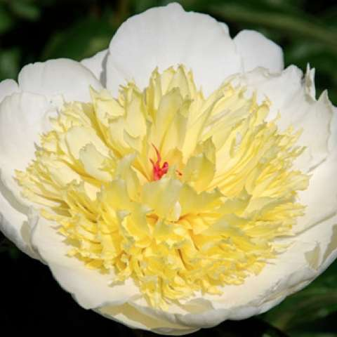 Peony Sunshine Festival, white outer petals, yellow bomb center