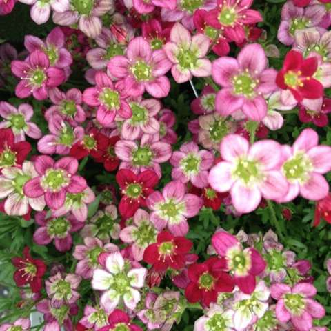 Saxifraga Rocco Red, small flowers in white, pink, and red, yellow eyes