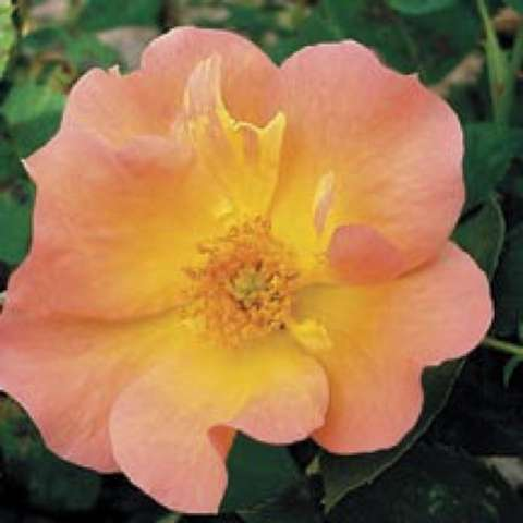 Rosa 'Morden Sunrise', single peach rose with yellow center