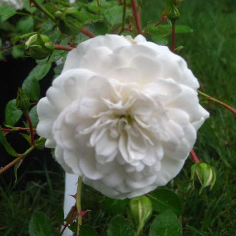 Rosa 'Seafoam', white double rose