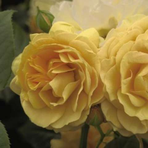 Rosa 'Julia Child', faded gold doubles