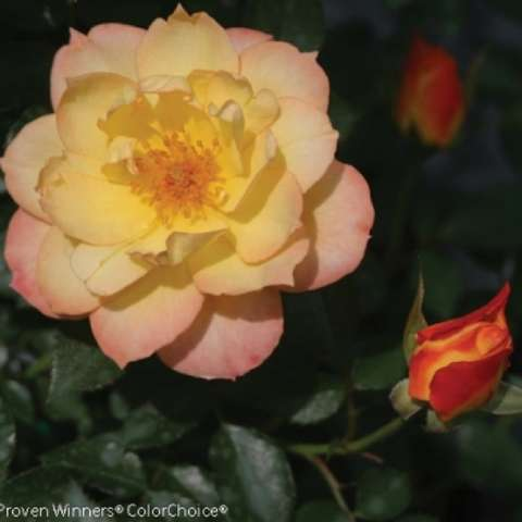 Rosa Oso Easy Italian Ice, yellow to pink semi-double rose
