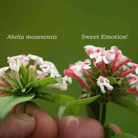 Comparison of Sweet Emotion Abelia with the species, larger and pinker flowers