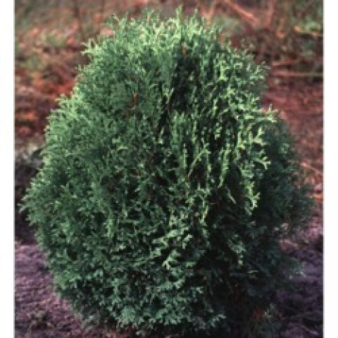 Little Gem arborvitae, almost round ball of green foliage