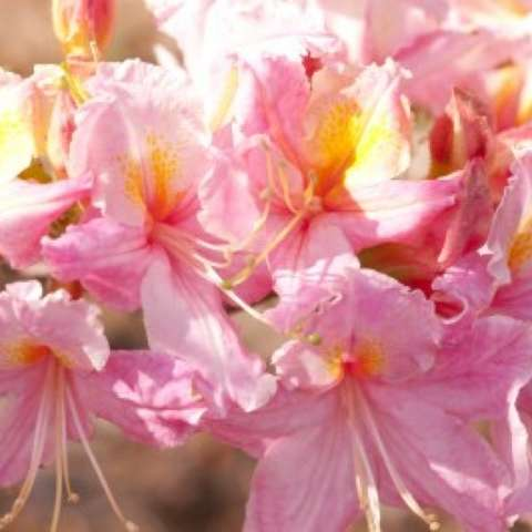 Northern Tri-Lights azalea, light pink and yellow