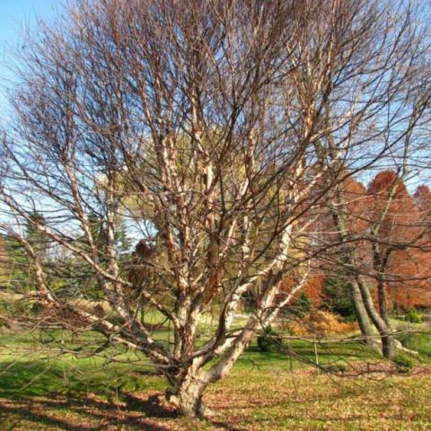Mature Fox River birch, bare in spring, many branches and twigs, gnarly trunk