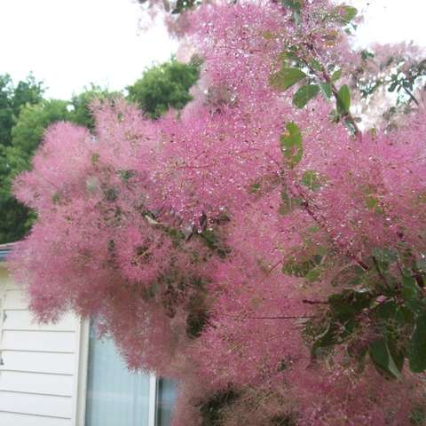Smoketree - Cotton Candy | Friends School Plant Sale
