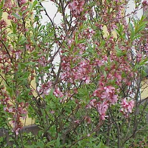 Prunus tenella, pink blossoms on upright twigs